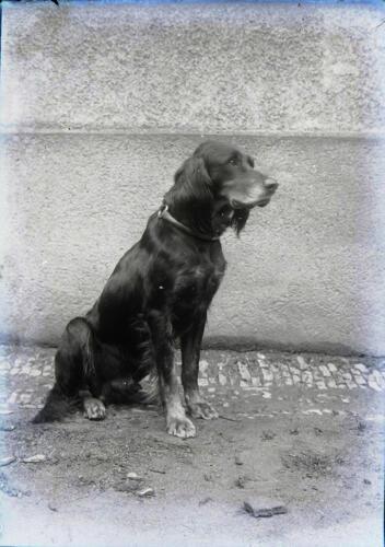 Setter (circa 1900)