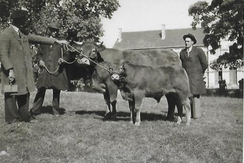 Vache suitée et son veau (1950-60)