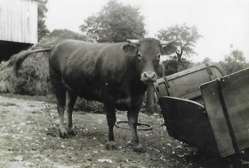 Vache seule (1950-60)