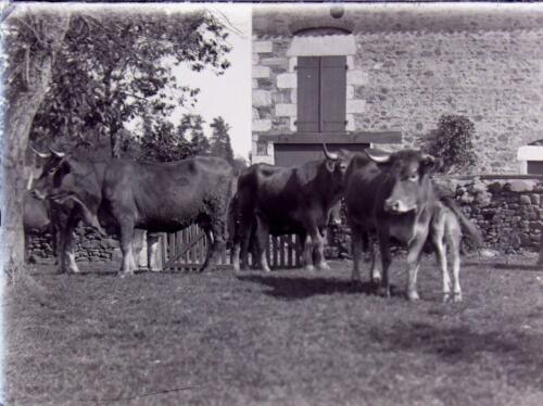 Vaches limousines - vers Saint-Léonard-de-Noblat